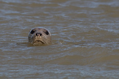 IMG_7189 (twitcher1105) Tags: commonseal