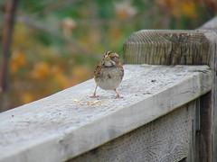 Female Black-capped chickadee (Quevillon) Tags: canada québec laurentides thérèsedeblainville rosemère park parcdelarivièredesmilleîles tyleemarsh bird blackcappedchickadee