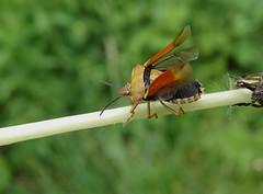 Carpocoris purpureipennis (rockwolf) Tags: carpocorispurpureipennis punaise pentatomidae hemiptera heteroptera insect openwings bourronmarlotte forêtdefontainebleau france 2018 rockwolf