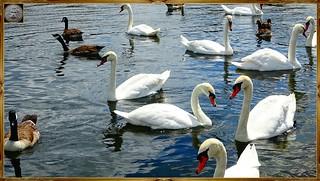 At Round Pond, Hyde Park, London, England, United Kingdom SWANS