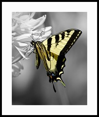 Swallowtail (juliemarie.stollery) Tags: butterfly animal wildlife nature insect california swallowtail westerntigerswallowtail