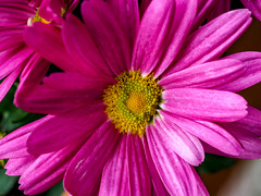 Pink (p.schmal) Tags: olympuspenf olympus60mmf28makro chrysanthemen