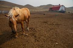 Bob & A Weave (stevenbulman44) Tags: horse ranch barn brown field summer red canon 2470f28l mane sky saskatchewan blond
