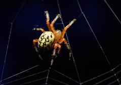 Web Designer 2 (JBayPhotographie) Tags: macro spider arachnid nature close dark web legs color hair yellow micro design orb weaver tokina 100mm