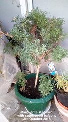 Marguerite standard with cuttings on balcony 3rd October 2018 (D@viD_2.011) Tags: marguerite standard with cuttings balcony 3rd october 2018
