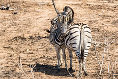 Zebras in the Kruger (George Bewsher) Tags: nikon nikond610 krugernationalpark skukuza africa southafrica kruger wildlife nature wanderlust travel animals