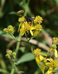 Bee&Blue-WingedWasp (T's PL) Tags: alongroanokerivergreenway bee bluewingedwasp nikond7200 nikon d7200 nikondslr roanokeroanoke va roanokeva roanoke tamron18400 nikontamron tamron18400mmf3563diiivchld tamron18400mmf3563diiivchldmodelb028tamron virginia yellowflowers