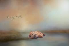 Grizzly bear (yosmama151) Tags: oklahoma oklahomacityzoo thedailytexture textured backgrounds soft pastel bear grizzlybear grizzly resting water waterscene