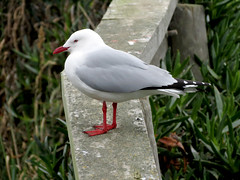 Red-billed Gull (treegrow) Tags: dunedin newzealand bird aves lifeonearth nature laridae chroicocephalusscopulinus taxonomy:binomial=chroicocephalusscopulinus