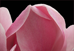 Beautiful Pink Magnolia 3 (Cornishcarolin. Stupid busy!! xx) Tags: cornwall httpswwwnationaltrustorguktrelissick nature flowers plants trees magnolia