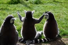 It was this Big (Bury Gardener) Tags: banham banhamzoo zoo wildlife ringtailedlemur lemur england eastanglia britain 2018 nikond7200 nikon