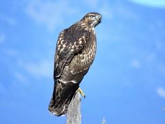 Red-tailed Hawk (Patricia Henschen) Tags: bird birdofprey raptor hawk redtailedhawk buteo alamosa colorado roadside rural countryside