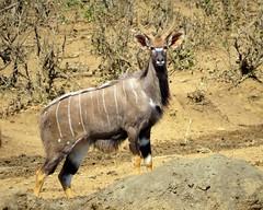 Nyala /  Basterkoedoe (Pixi2011) Tags: antelope krugernationalpark africa wildlife animals