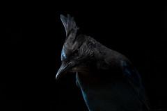 Stellar's Jay (Coastal) (Melissa James Photography) Tags: cyanocittastelleri stellarsjay jay bird nature black portrait birdportrait californiabird nikond500 nikon300f4