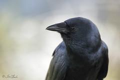American Crow (TomLamb47) Tags: nature wildlife bird amcr american crow circlebbarreserve lakewood florida fl canon 1d4 100400mm