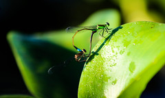 Damselflies (_Lionel_08) Tags: damselflies bugs insects insect wild wildlife green canon color colorful contrast colors bug louisiana swamp wetlands pond marsh marshland