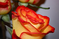 Beautiful Rose. (dccradio) Tags: lumberton nc northcarolina robesoncounty indoor indoors inside rose roses flower floral flowers pretty beauty beautiful nature yellow orange red bouquet october tuesday evening autumn fall wall nikon d40 dslr photooftheday photo365 project365