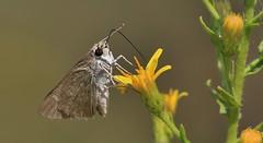 Mediterranean Skipper Butterfly       (Gegenes nostrodamus) (nick.linda) Tags: mediterraneanskipper gegenesnostrodamus butterflies yellowflowers nectaring wildandfree butterfliesonflowers canon7dmkii canon100400 spain