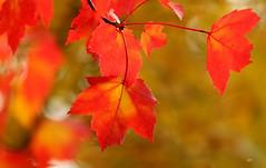 Couleurs d'automne / Autumn colors (alainmaire71) Tags: automne autumn fall couleursdautomne autumncolors fallcolors érablerouge redmaple acerrubrum nature quebec canada bokeh