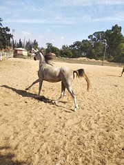 3 (redi3103) Tags: egyptian arabian horse for sale buy champion