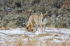 Success (ChicagoBob46) Tags: coyote yellowstone yellowstonenationalpark nature wildlife naturethroughthelens coth5 ngc npc