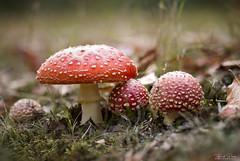 Gnome Village (Thijs de Bruin) Tags: mushrooms vliegenzwam autumn flyagaric macro mastbos dutch nederland