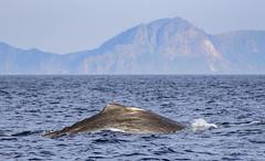 Sperme whale about to dive I (lasse christensen) Tags: dsc5039 norway norge nordland vesteålen andøya spermwhalephysetermacrocephaluscachalotspermhvalenspermhvalhunnmedkalvenspermhvalhunnmedkalvvitenskapeligenavnphysetermacrocephaluslinnaeus 1758physeter physeteridaenorskenavnspermhval