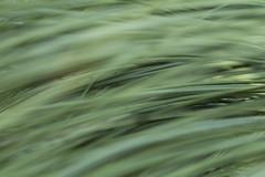 Xanthorrhoea foliage (louisa_catlover) Tags: cranbourne royalbotanicgardenscranbourne garden nature outdoor spring october sunny afternoon melbourne victoria australia plant australian native bokeh dof foliage leaves green grass grasstree xanthorrhoea abstract
