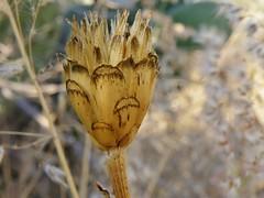Zinnia peruviana (L.) L., 1759 (carlos mancilla) Tags: frutos fruits zinniaperuvianall1759 zinniaperuviana gallitodemonte peruvianzinnia fieldzinnia maldeojo asteraceae asteroideae olympussp570uz