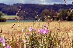 Pink Cornflower (Bephep2010) Tags: 2018 7markiii aesch aeschlu alpha frühling hallwilersee ilce7m3schweiz kornfeld lakehallwil lucerne luzern sel24105g see sony switzerland cornfield cornflower lake pink rosa spring ⍺7iii schweiz ch