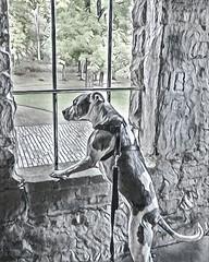 Prisma_Curly_Hair_Juneau in Squires Castle (kevincarlvail) Tags: juneau pitbull dog rescueddog prisma