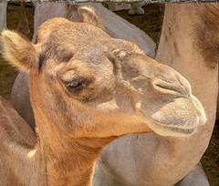 Camel Souk, Al Ain (mpoutside) Tags: dubai market camel alain abudhabiemirate unitedarabemirates ae