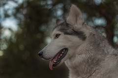 Aurora (Cruzin Canines Photography) Tags: animal animals canon canoneos5ds canon5ds canine 5ds eos5ds dog dogs mammal pet pets husky huskies alaskanhusky siberianhusky aurora girl female portrait outdoors outside nature naturallight naturepreserve colorado coloradosprings palmerpark cute pretty