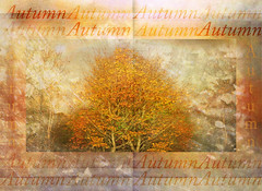 This Is Autumn (virtually_supine) Tags: theawardtreechallenge176autumnartistrychallenge autumn trees leaves vividcolour autumncolour creative photomanipulation layers textures blending digitalmanipulation digitalartwork text photoshopelements13mac mirroredimage diptych montage painterly