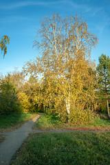 Birch at sunset (2) / Берёза в лучах заката (2) (BogKY) Tags: 2018 омск omsk westernsiberia октябрь october осень autumn bogky sonyalpha7r2ilce7rm2ff sel1635z rawconvertsoft золотаяосень goldenautumn бабьелето indiansummer пейзаж landscape природа nature закат sunset дерево tree берёза birch тропинка дорожка path footpath парксоветскогорайона парк park resizesoft