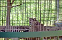 Cougar (jlf1938) Tags: northgeorgia zoo cougar