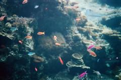 Okinawa Churaumi Aquarium, Japan (Rayu Lin) Tags: okinawa japan churaumi aquarium 沖繩美麗海水族館 沖繩 日本 水族館 魚 fish 沖縄 film portra 400 konicac35ef konica filmcamera