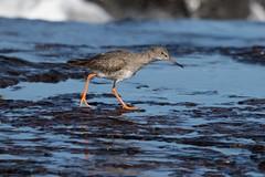Redshank Redemption (digiphill) Tags: 2018 autumn bamburgh coast coastal northeast northeastcoast northumberland northumberlandcoastaonb redshank september sigma150600mmsport tringatotanus wadingbird wildbirds wader beautifulearth