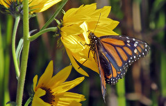 California monarch (TJ Gehling) Tags: insect lepidoptera butterfly nymphalidae monarch monarchbutterfly danaus danausplexippus plant flower asterales asteraceae sunflower californiasunflower helianthus helianthuscalifornicus canyontrailpark elcerrito