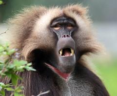 Gelada Blijdorp 094A0331 (j.a.kok) Tags: baboon baviaan roodborstbaviaan gelada africa animal afrika aap mammal monkey primate primaat blijdorp zoogdier dier blijdorpzoo
