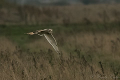 Short Eared Owl-8804 (WendyCoops224) Tags: 100400mml 80d fens canon eos ©wendycooper short eared owl asio flammeus