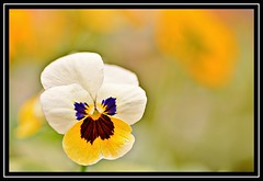 "33/100 for ""100 Flowers 2018"" (NikonShutterBug1) Tags: nikond7100 tokina100mm nature wildlife bokeh spe smartphotoeditor closeup macro flower flora 100flowers2018"