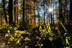 Sous-bois en automne (christian.rey) Tags: cheyres grnges sousbois forêt automne fribourg broye soleil sun sony alpha a7r2 a7rii 1635 nature suisse