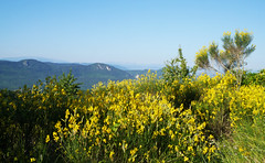 Broom (Cytisus scoparius), Valmigere (Niall Corbet) Tags: france occitanie languedoc roussillon aude broom cytisusscoparius valmigere
