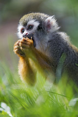 Squirrel monkey eating something (Tambako the Jaguar) Tags: squirrelmonkey monkey primate ape eating portrait food close grass kinderzoo zoo knie rapperswil switzerland nikon d5