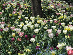 Many Tulips (ty law) Tags: newyorkcity spring flowers architecture artdeco daffodil tulip batteryparkcity worldfinancialcenter brookfield landscaping pink yellow blue white tree purple
