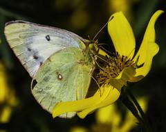 Butterfly_SAF6126-2 (sara97) Tags: butterfly copyright©2018saraannefinke flowers insect missouri nature photobysaraannefinke pollinator saintlouis towergrovepark urbanpark