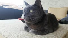 Waylon (ashman 88) Tags: waylon wayloncat feline gato felissilvestriscatus housecat domesticcat waylonthecat