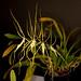 Brassia Spider's Gold 'Prolific' – Merle Robboy