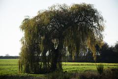 Weeping Willow_9699 (Mike Head -Jetwashphotos) Tags: weepingwillow willow farmland southdelta delta bc britishcolumbia canada westerncanada westernregion